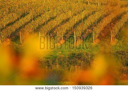 Vineyard in Daruvar region, Croatia, autumn landscape, view through the vineyard leafs, selective focus
