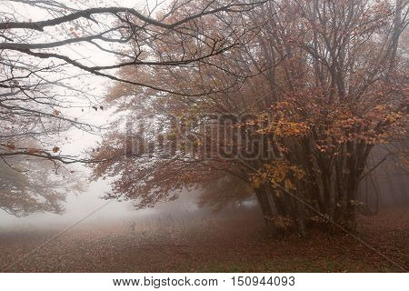 Fog and wind in the beech forest on Mount San Vicino in an autumn morning Italy