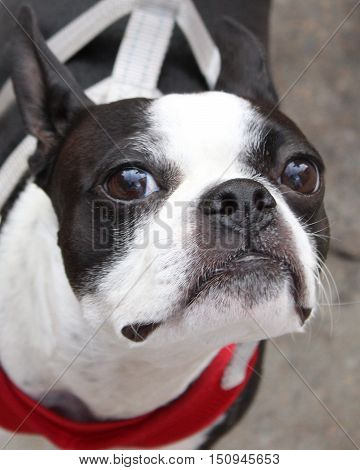 Close-up of Boston Terrier at outdoor market in Knoxville, TN
