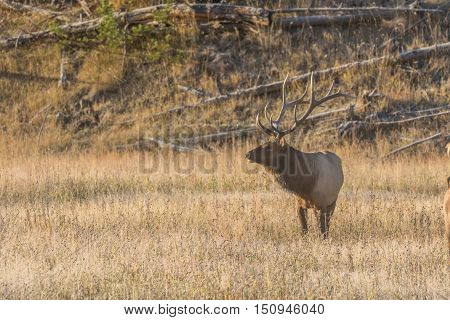 a bull elk in a meadow during the rut