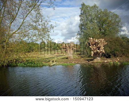 Recently pollarded willow trees alongside a river with trees and meadows in the background with an attractive sky.