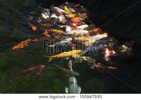 Karp Fish Feeding