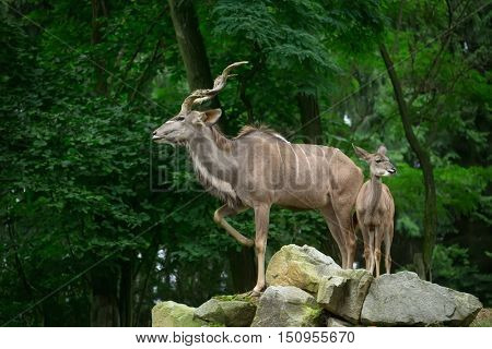 Greater kudu in its natural environment