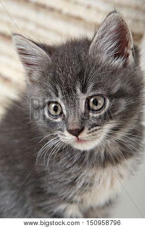 little Kitty. charming fluffy Grey cute kitten