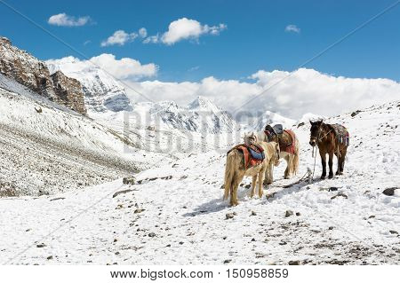 High altitude ponies standing on snowy slope. Thorong La pass at 5416m, Annapurna circuit trek in Nepal.