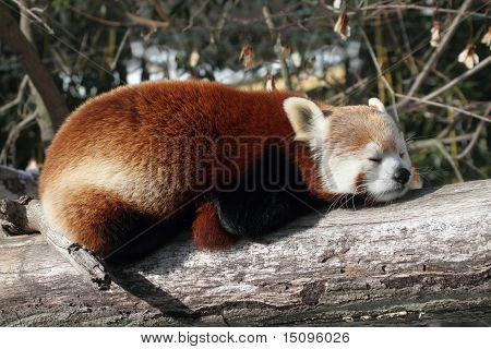 Red Panda (ailurus Fulgens)