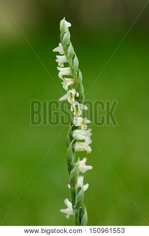 Autumn Lady's Tresses Orchid Flower Spike - Spiranthes Spiralis