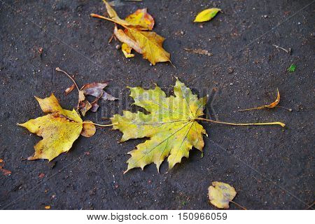 Pale yellow single autumn maple leaves lie on the dark earth.