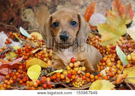 Autumn Holiday Dachshund Puppy in a fall scene of red, yellow and orange colored leaves and berries. Front on view of a miniature red smooth haired dachshund puppy dog in a fall display.