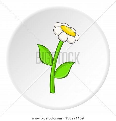 Daisy icon. Cartoon illustration of daisy vector icon for web