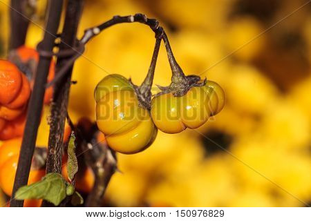 Pumpkin tree scientifically known as Solanum integrifolium is a plant that looks as if it is growing miniature orange pumpkins.