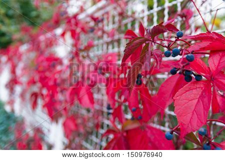Blue Berries Bright Red Leaves Plant Growing Fence White Metal Contrast Abstract Nature