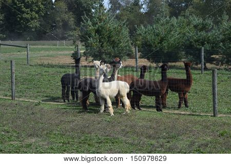 a herd of llamas gathered by a fence.