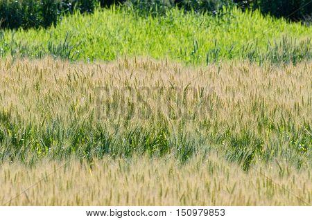 Yellow Field Of Wheat