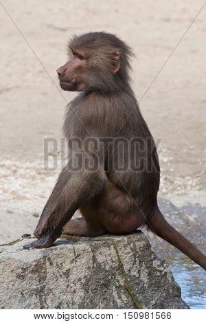 Hamadryas baboon (Papio hamadryas). Baby monkey. Wildlife animal.