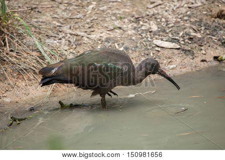 Hadada ibis (Bostrychia hagedash), also known as the hadeda ibis. Wildlife animal.
