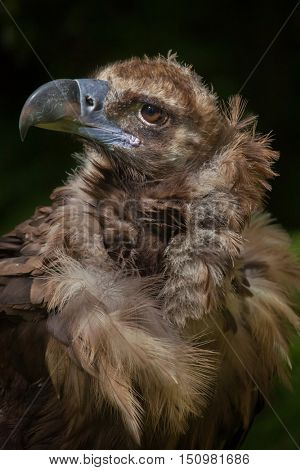 Cinereous vulture (Aegypius monachus), also known as the black vulture or monk vulture. Wildlife animal.