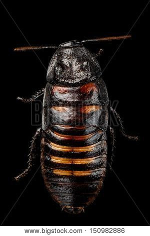 Close-up Madagascar hissing cockroach , Gromphadorhina portentosa, isolated on Black Background, top view