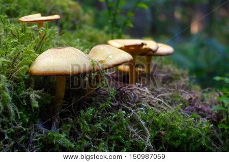 a suillus bovinus growing in the forest also known as the Jersey cow mushroom or bovine bolete