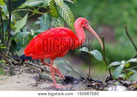 Close up of red bird scarlet ibis selective focus.