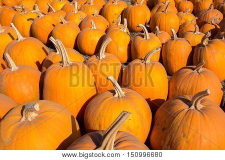 Scattered Pumpkins. A pumpkin patch in Davenport, California, USA