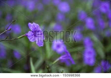 The blossoming ruellia brittoniana flowers closeup in garden