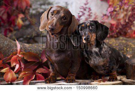 dachshund dogs in the autumn background with red leaves