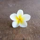 image of white flower  - Frangipani flower - JPG