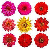 image of single flower  - collection of Zinnia elegans flowers isolated on white with clipping path - JPG