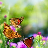 image of butterfly  - butterflies on flowers - JPG