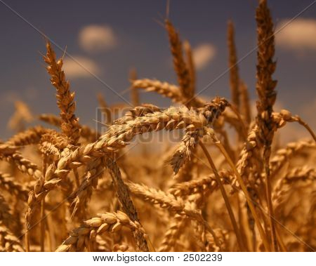 Ripe Wheat Immediately Before Harvest