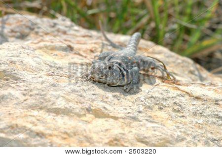 Eastern Collard Lizard