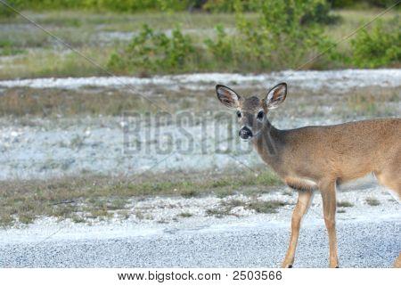 Female Key Deer