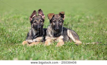 Two German Shepherd Puppys