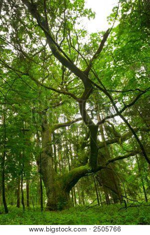 Ancient Oak.