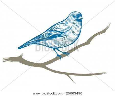 Hand-drawn chaffinch. Vector illustration.