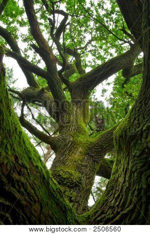 Powerful Oak.