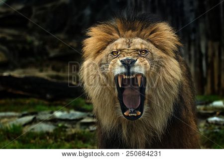 The Berber Lion With Open