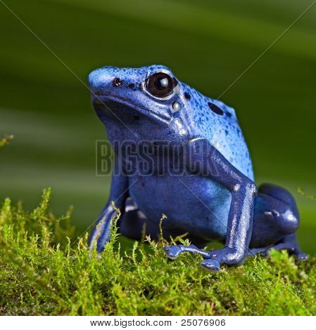 blue poison dart frog, poisonous animal of Amazon rainforest in Suriname, endangered species kept as cute exotic pet in rain forest terrarium, jungle amphibian