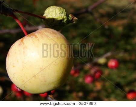 Apple In Orchard