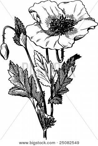 Rama de Papaver rhoeas