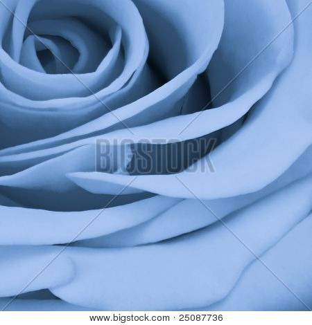 Blue Rose Close Up