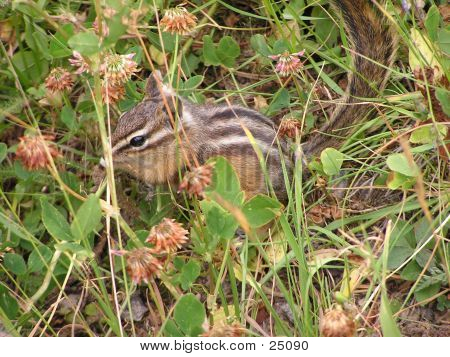 Chipmunk In Clover