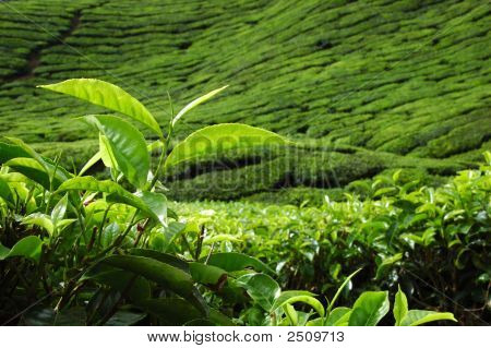 New Tea Leaf Stand Out In Tea Plantation (Morning)