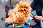 Pomeranian Dog With Red Hair On The Table For Grooming In The Beauty Salon For Dogs. Toned Image. Th poster