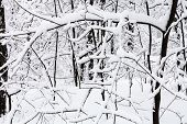 Snow-covered Twigs In Snowy Forest Of Timiryazevskiy Park Of Moscow City In Overcast Winter Day poster
