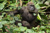 Постер, плакат: Gorilla In Gabon Endangered Eastern Gorilla In The Beauty Of African Jungle gorilla Gorilla