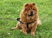 Chow-chow Dog Sitting