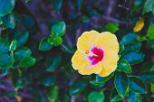 Close-up Of Beautiful Subtropical Hibiscus Plant Shot In Queensland, Australia In Summer poster