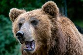Portrait Of Brown Bear (ursus Arctos Beringianus). Kamchatka Brown Bear. Big Mammal From Russia. poster